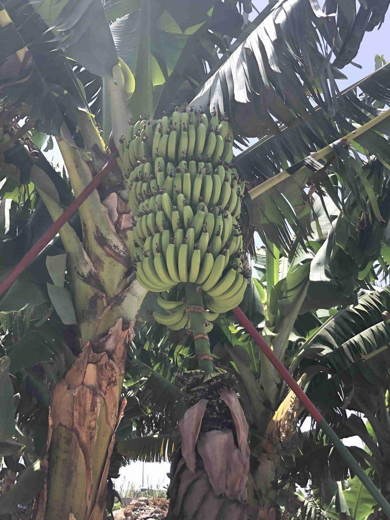 Lecker Bananen
